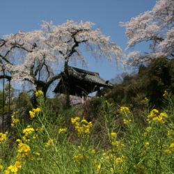 自然・ロマン・人にやさしい井手の町 京都と奈良を結ぶ、井手の里。