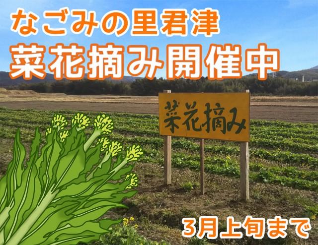 【終了しました】新鮮な春野菜を食べませんか?なごみの里君津で菜花摘み実施中です♪