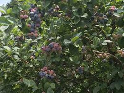 【3月19日開催】ブルーベリー畑の苗植えしませんか?