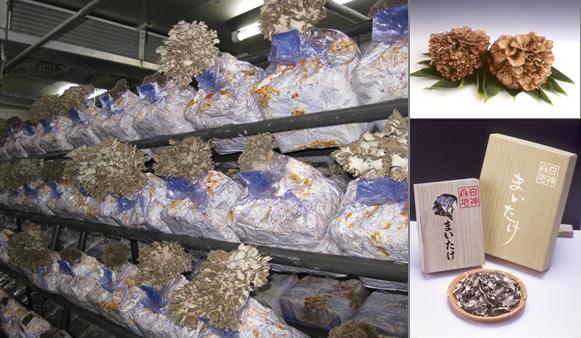 菌床栽培で作られた舞茸は香りが...