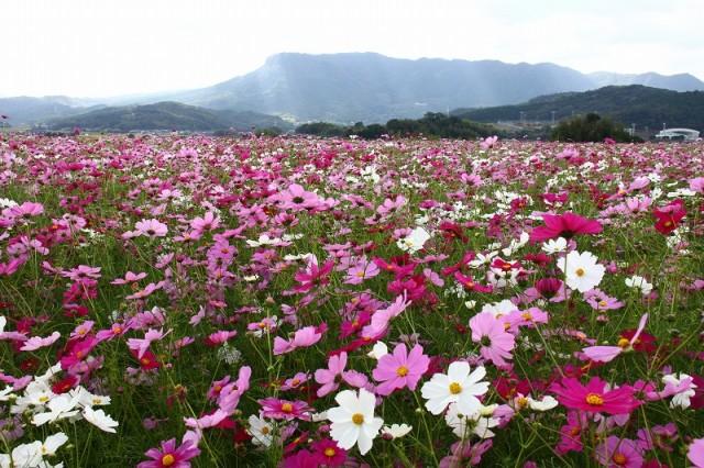 【三光コスモス園】西日本最大級のコスモス園が開園です!