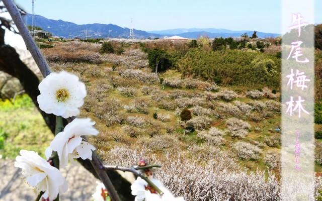 約1万3千本の梅の花が山肌一面を覆う 牛尾梅林