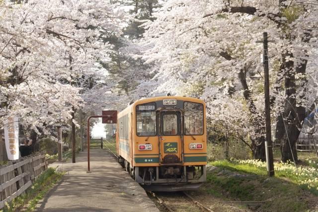 goshogawara-sakura004