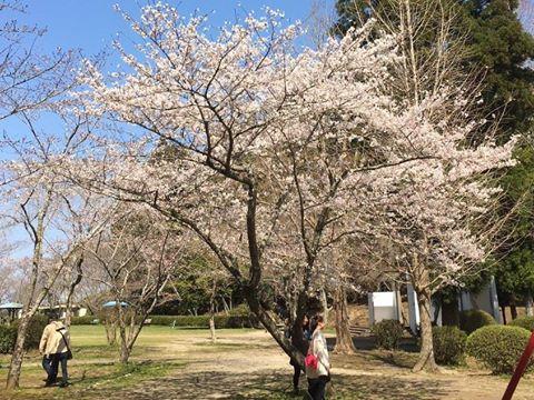 mobara-sakura001