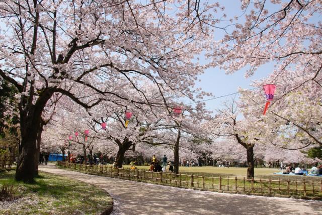 古城公園の桜1