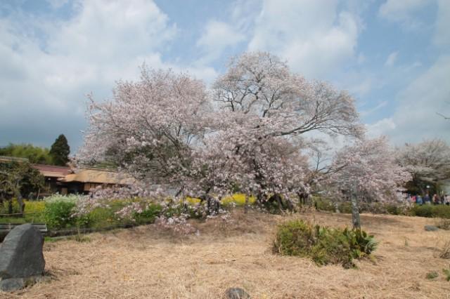"""日本五大桜の一つ""""狩宿の下馬桜""""「狩宿さくらまつり」開催!"""