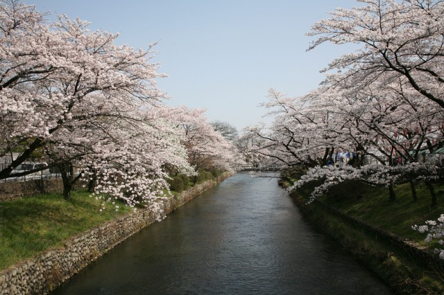 hamura-sakura