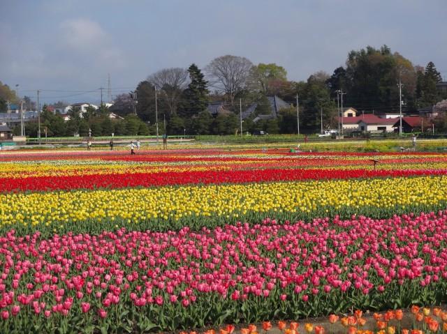hamura-tulip