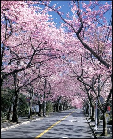 桜並木が作り出す春の芸術「伊豆高原桜まつり」開催!