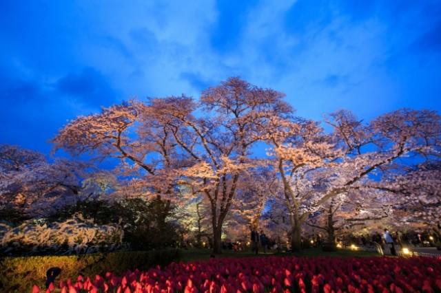 京都府立植物園「桜ライトアップ2017」「桜散歩」開催!