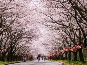 桜色一面の名張中央公園「名張さくらまつり~櫻・絵巻~」開催!
