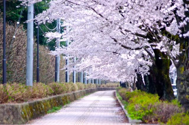 光きらめくさくら通りライトアップ「おおひら桜まつり」開催!