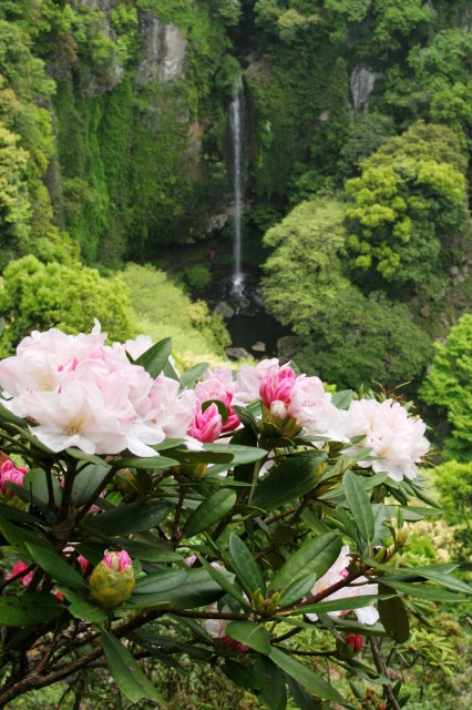 裏見の滝と石楠花 (2)