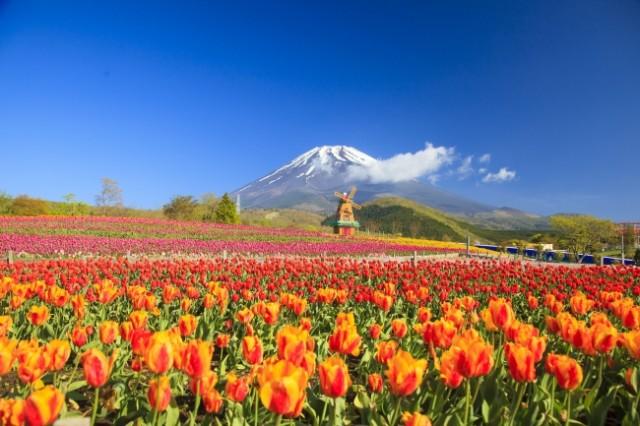 izu-tulip