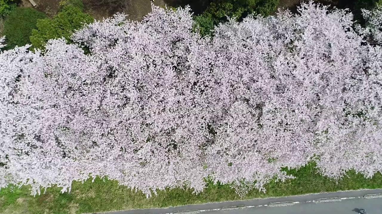 満開の桜を上空から撮影した動画を初公開 桜×多摩川×狛江 cherry