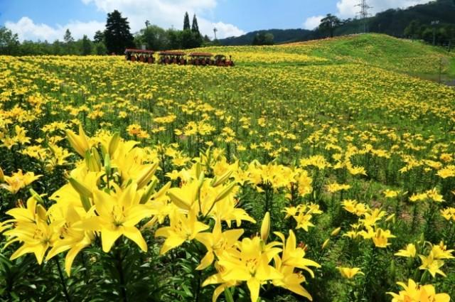 ピクニック観光特集☆花のパノラマ・家族で遊べる「ダイナランドゆり園・ゆり祭り」