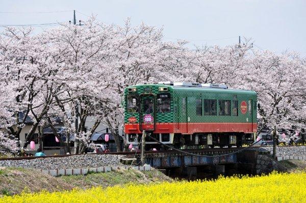 お花見・イベント特集☆真岡の一万本桜まつり