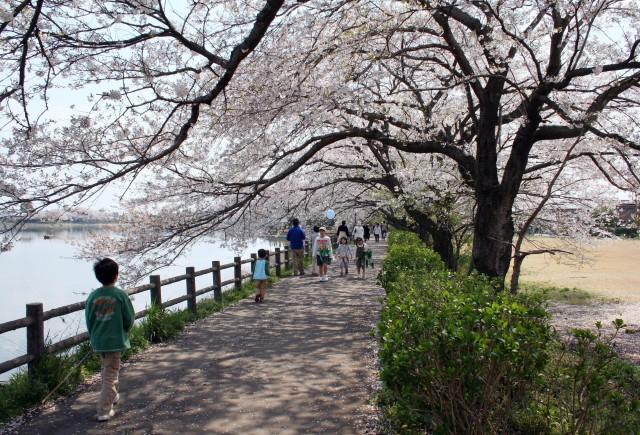 お花見・イベント特集☆第47回下妻砂沼桜まつり(本祭)