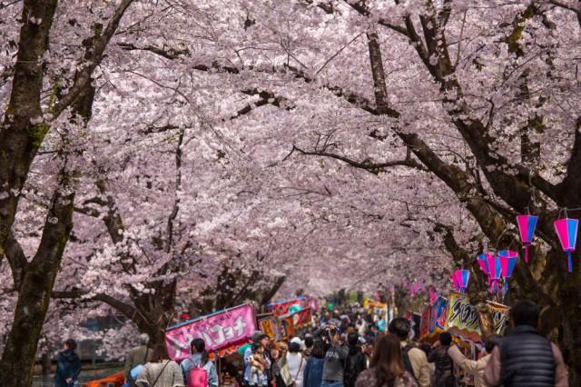 お花見・イベント特集☆見事な桜のトンネル「赤城南面千本桜まつり」