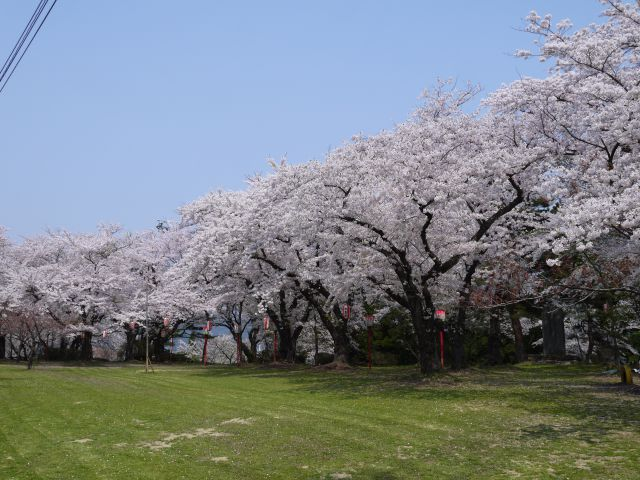 春・桜・出会い特集☆楯山公園桜まつり