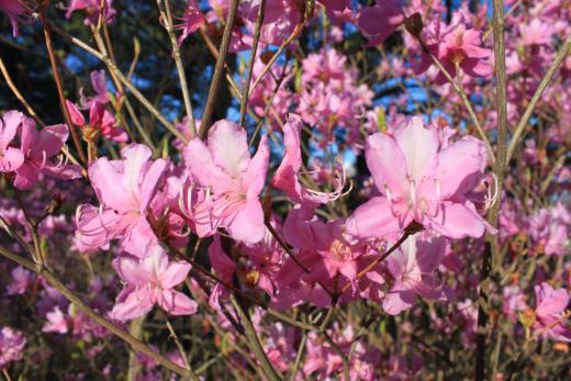 春・桜・出会い特集☆「鳴沢ツツジまつり」