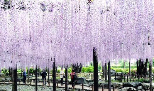 春・桜・出会い特集☆甘い香りに包まれて風にそよぐ壮麗な藤「尾張津島藤まつり」