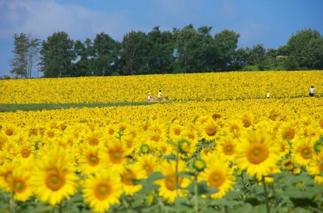 北海道のひまわり畑「第32回 ひまわりまつり」・北竜町