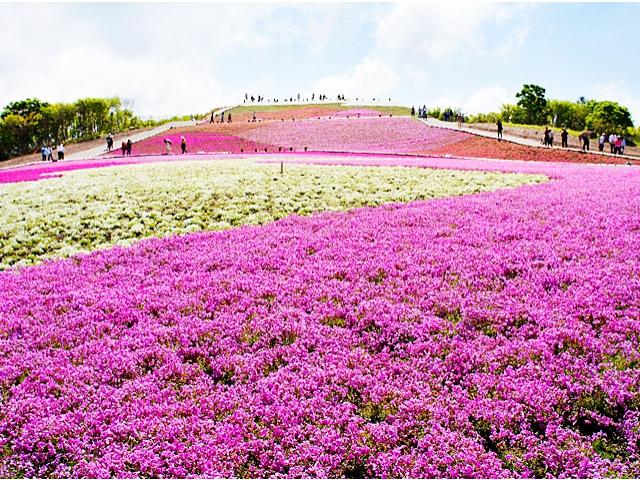 天空のお花畑「茶臼山高原 芝桜まつり2019」・豊根村