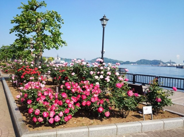フランス庭園ヴェルニー公園「春のローズフェスタ」・横須賀市